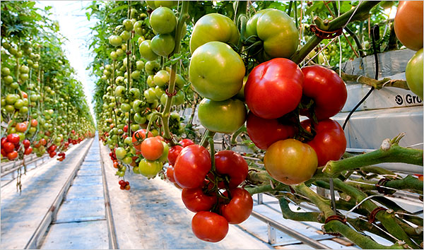 Greenhouse drip irrigation system used for tomatoes