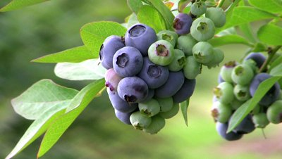 treated water used for growing blueberries